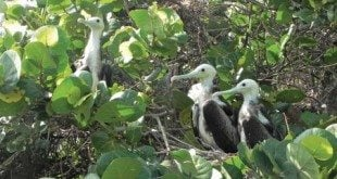 Nesting Magnificent Frigatebirds. Photos by Susan Zaluski