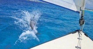Dolphin off the bow of Southern Caribbean Sailing's Valk, coast of Bonaire