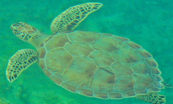 "MEET OUR OFFICIAL HARBOUR MASCOT 'LOGGY"" - a loggerhead turtle that regularly frequents the marina. He's (We think it's a he!) one of the wonders of nature that abound in and around Great Exuma, in the fabulous Bahamas! (EMERALD BAY MARINA PHOTO)"