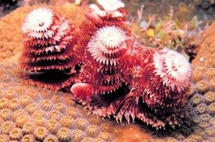 Christmas Tree Worms. Photo: Becky A. Bauer
