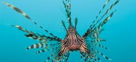 The Otherworldly Lionfish
