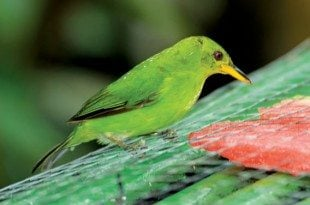 Female Green Honeycreeper. Photos by Charles (Chuck) Shipley