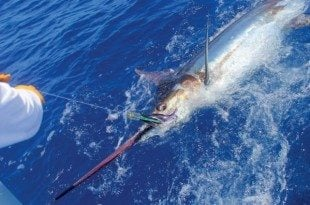 Blue marlin comes to the Blue Sky during the 2013 BBC competition. Credit: Greg Smith