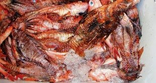 To avoid ciguatera know what kind of fish you are buying and where it was caught. Photo by Devi Sharp