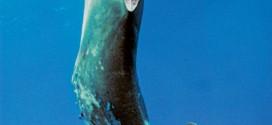 A de-finned Hammerhead. Photo: Jeff Rottman/The Pew Charitable Trust