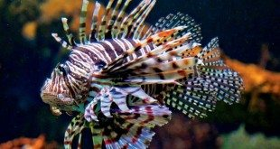 Lionfish - Photo by Glenn Hayes