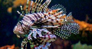 Lionfish - Photo by Glenn Hayes