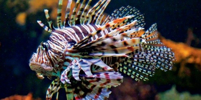 The Lionfish are Everywhere
