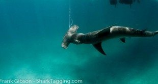 A new study that examined the survival rates of 12 different shark species when captured as unintentional bycatch in commercial longline fishing operations found large differences in survival rates across the 12 species, with bigeye thresher, dusky, and scalloped hammerhead being the most vulnerable. Image courtesy of Frank Gibson - Sharktagging.com