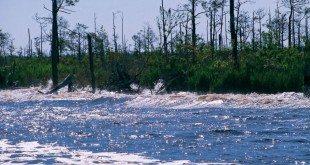 Alligator-Pungo Canal, the sport fish boats wake washing up on shore. Photo by Bill Hezlep