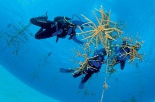 Divers at work in the Coral Tree Nursery. Photo: Federico Cabello