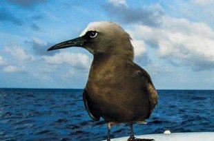 A Brown Noddy claims a random perch halfway between Ascension Island and Barbados. Photo: Ellen Massey Leonard