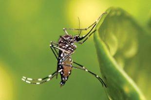 zika virus mosquitoes : The Tiger mosquito (Aedes aegypti) is the primary vector of the Zika Virus. Photo Muhammad Mahdi Karim