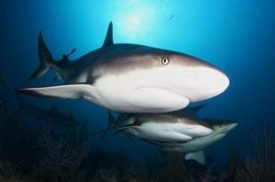Caribbean shark sanctuaries