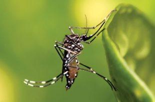 Mosquito (Aedes aegypti). Photo: Muhammad Mahdi Karim