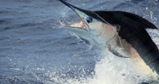 Four hundred-pound blue marlin released by Chad Damron aboard the 75' Weaver, Sodium, off the North Drop. Credit: Travis Butters.