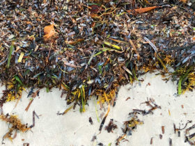 Sargassum Weed